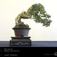 Oliva sylvestris