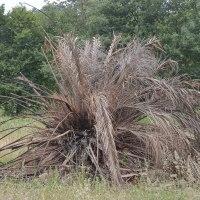 palmeira seca